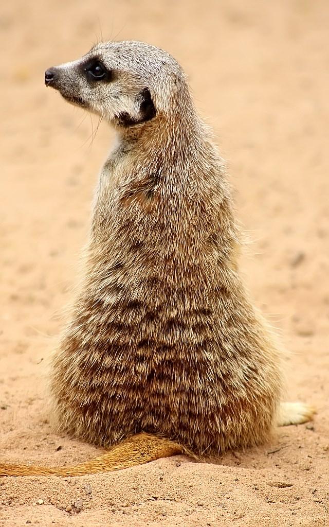 Meerkat (10)