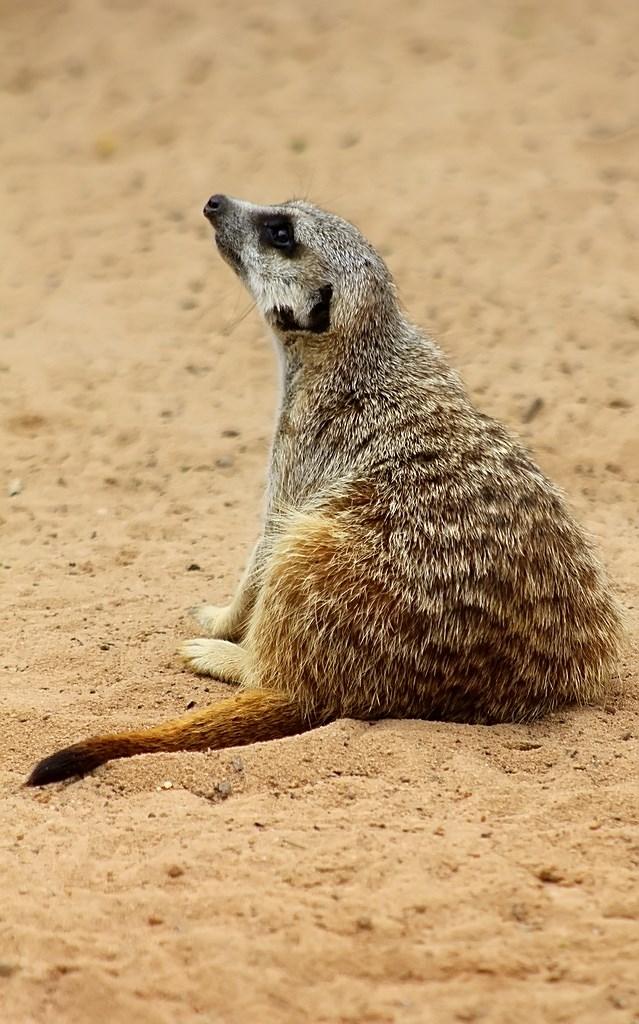 Meerkat (11)