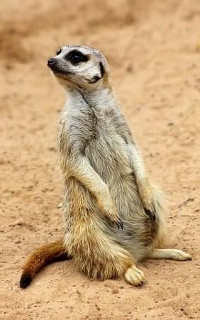 Meerkat (12)