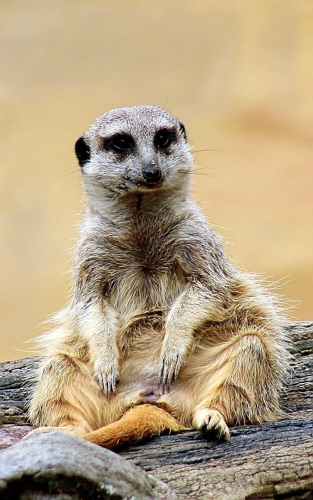 Meerkat (3)