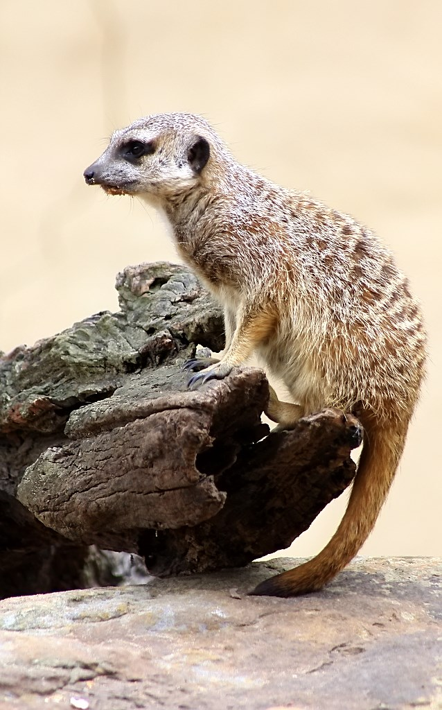 Meerkat (5)