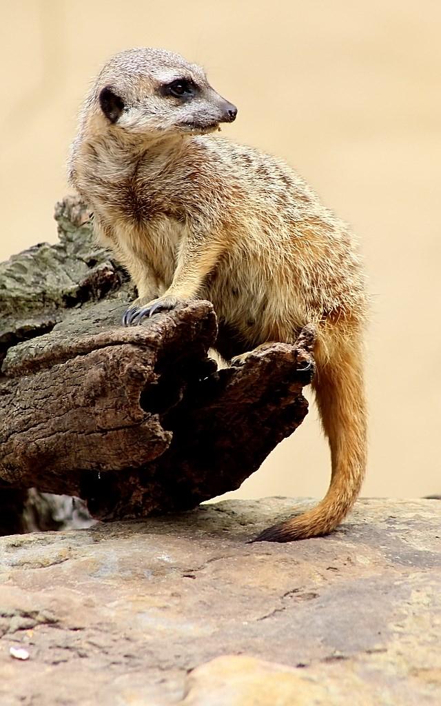 Meerkat (6)