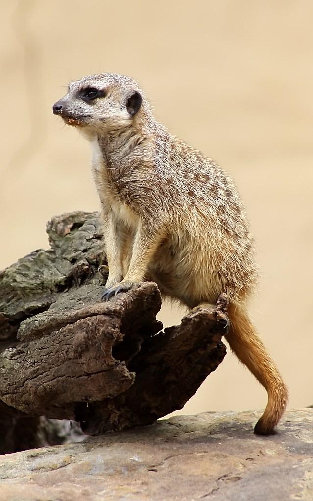 Meerkat (8)