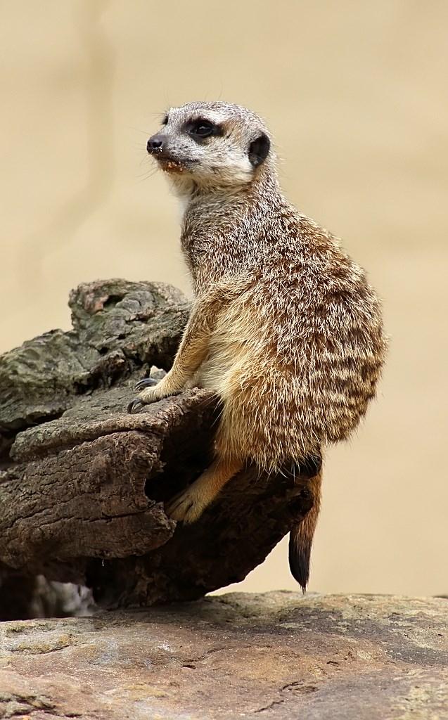 Meerkat (9)